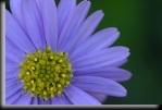 blue20flower