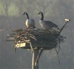 canadas-on-nest-7-4-071