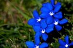 blue-mountain-flowers_14008